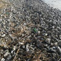 Il mistero delle ostriche spiaggiate a Castiglione della Pescaia