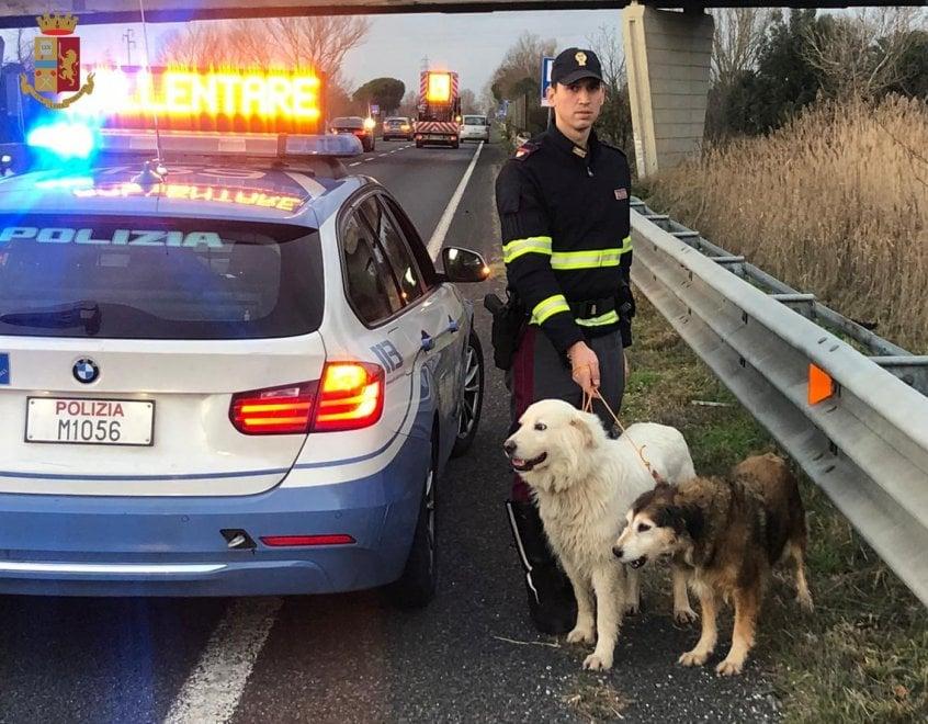 Vagavano impauriti sulla Fi-Pi-Li, cani salvati dalla Polstrada
