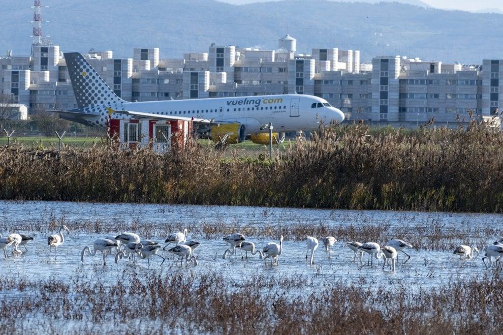 Firenze, lo spettacolo dei fenicotteri nel lago affacciato sull'aeroporto