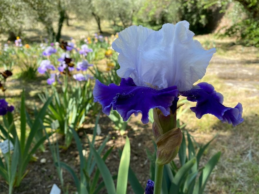 Firenze, è aperto il giardino dell'Iris: ingressi contingentati e distanza