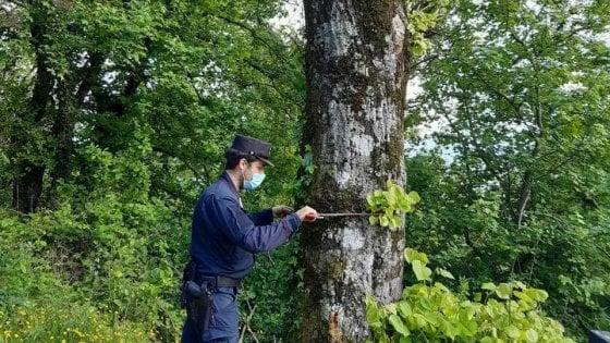 Mugello: avvelena 27 alberi sulla strada per avere una vista migliore dalla sua casa