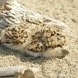 Pisa, nati tre piccoli di fratino sulla spiaggia di Marina di Vecchiano