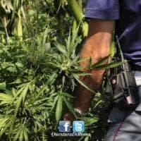 Montelupo, piante di marijuana al circolo del golf