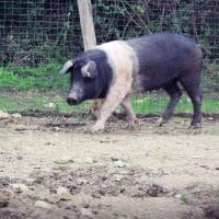 Siena, accolta in un rifugio la maialina che era scappata dal camion che la avrebbe portata al macello