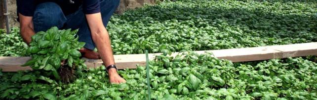 Basilico, produzione -50%. A rischio il pesto