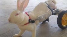 Due ruote al posto della zampe e la coniglietta Hope torna a correre   (vd)