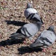 """Genova, processato  per aver ucciso un piccione: """"nessun dolo, assolto"""""""