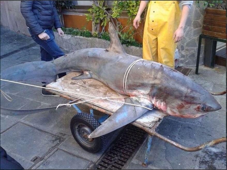 Camogli, pescato uno squalo di 200 chili