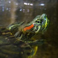 Acquario, la tartaruga di Albenga ha trovato casa