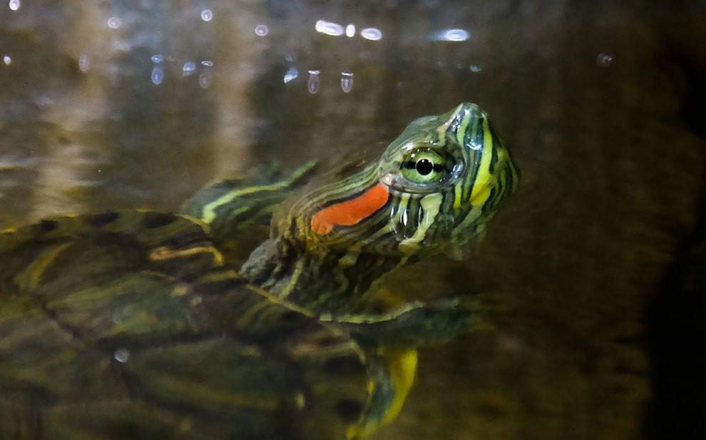 Acquario la tartaruga di albenga ha trovato casa 1 di 1 for Tartaruga da acquario