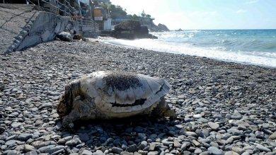 """Tartaruga trovata morta a Quinto, l'esperto: """"colpa di inquinamento o ami da pesca""""    Ft"""