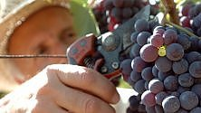Bianchi e rossi di Liguria, poche bottiglie ma di qualità