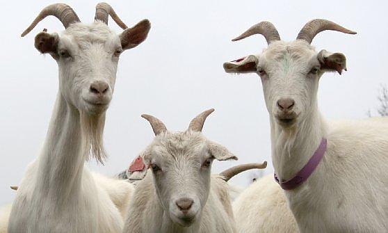 """Il fotocontest più """"ambientalista"""", in premio anche una capra e un alveare"""