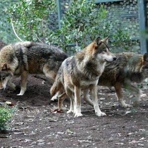 """La Regione vuole aprire la caccia al lupo in Liguria : """"Sono 200, troppi"""""""