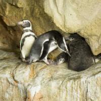 Acquario, nuovi cuccioli: nati tre pinguini, due sono gemelli