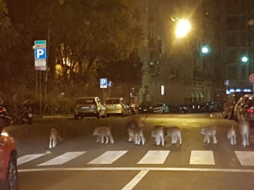Genova, nove cinghiali a spasso in piazza Martinez