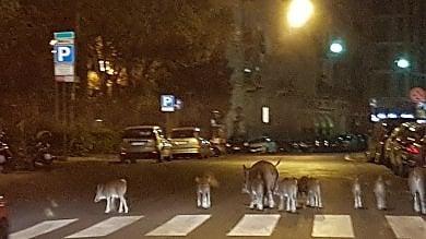 Nove cinghiali a spasso in piazza Martinez