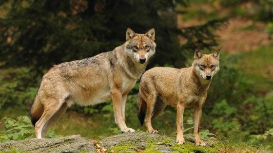 """L'autunno del lupo sui monti liguri: """"Più cuccioli, più attacchi"""""""