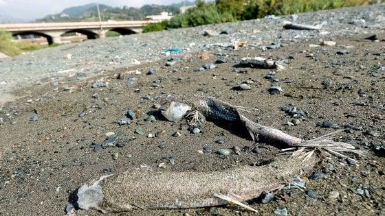 Morìa di pesci a ponente, probabile un'epidemia