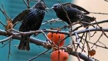 Gli storni sull'albero  di cachi a Sampierdarena