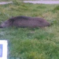 Genova, un cinghiale dorme nei giardini di Principe