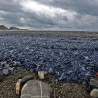 Un tappeto azzurro di meduse sul mare davanti a Genova
