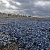 'Le velelle sono miliardi', le spiagge liguri coperte da un tappeto azzurro