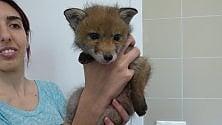 Un cucciolo di volpe, ultimo arrivato nell'ospedale degli animali selvatici