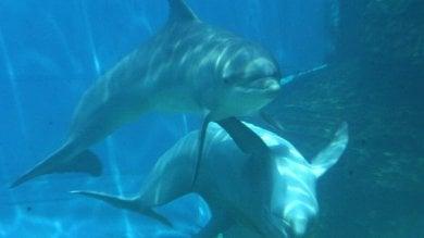 Resteranno a Genova i quattro delfini trasferiti da Rimini