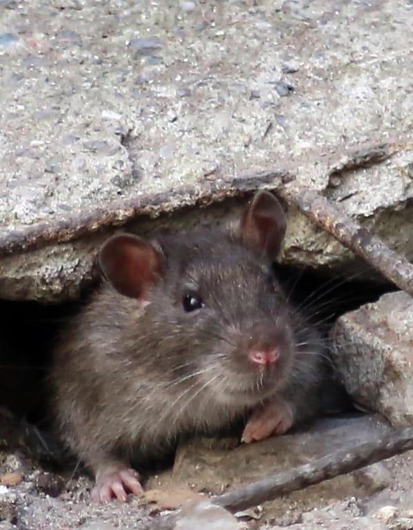 La fabbrica dei ratti: il ghetto di Genova in lotta contro l'assedio dei topi