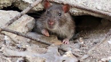 La fabbrica dei ratti: il ghetto di Genova in lotta contro l'assedio dei topi   video