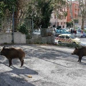 Troppi cinghiali in città, a Genova si potrà sparare per abbatterli