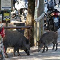 Genova, blitz degli animalisti, liberato il cinghiale rinchiuso a villa