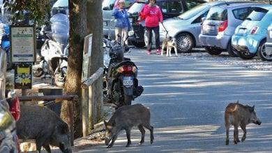 Genova, blitz degli animalisti, liberato  il cinghiale rinchiuso a villa Imperiale