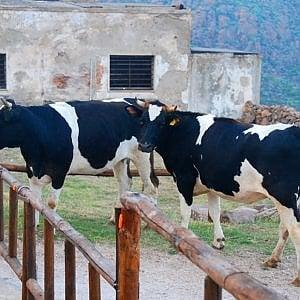 Liguria, la grande crisi degli allevatori