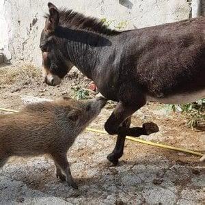 Cadibona, la cinghiala e l'asino innamorati nel rifugio della Protezione Animali