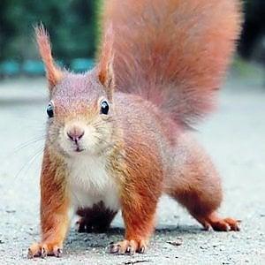 Parchi di Nervi cercasi disperatamente coppia di scoiattoli rossi