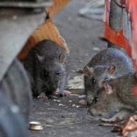 Esche al pesto per sterminare i topi a Genova