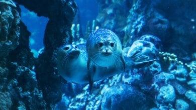 Acquario di Genova, il debutto del cucciolo di foca