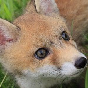 La volpe, la poiana e le caprette:  nella casa degli animali selvatici