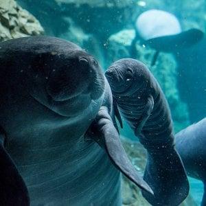 Fiocco azzurro all'Acquario di Genova, è nato un lamantino