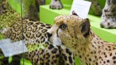 """L'ultimo tassidermista del museo Doria: """"Sono una specie in via d'estinzione"""":"""