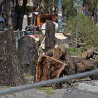 Sestri, viale Canepa ha perso gli alberi