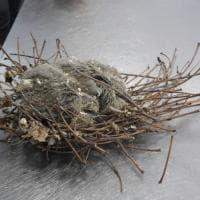 Il nido di pulcini blocca il taglio degli alberi