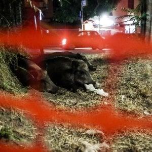 Nel 2018 uccisi 90 cinghiali in città in provincia di Genova