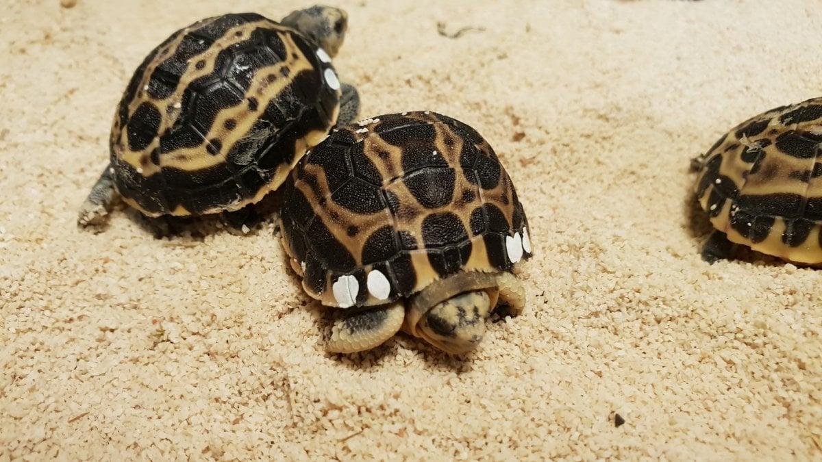 Acquario sono nate nove tartarughe pyxis for Acquario per tartarughe grandi