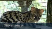 Animali selvatici,  in Liguria è arrivata  la genetta