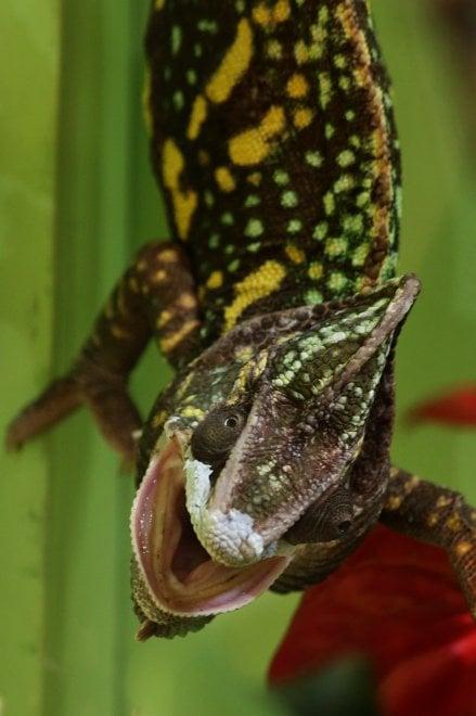 Dragons, a Genova la mostra di sauri vivi più grande al mondo