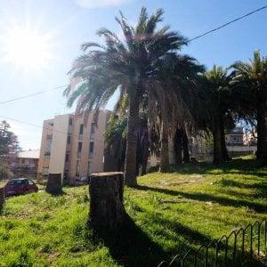 Genova, la strage delle palme in parchi e giardini privati, la speranza è un verme