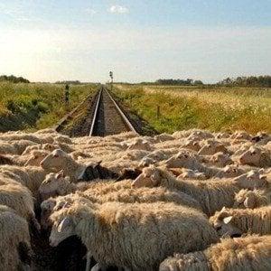 Gregge sui binari, traffico ferroviario nel Ponente in tilt per oltre due ore